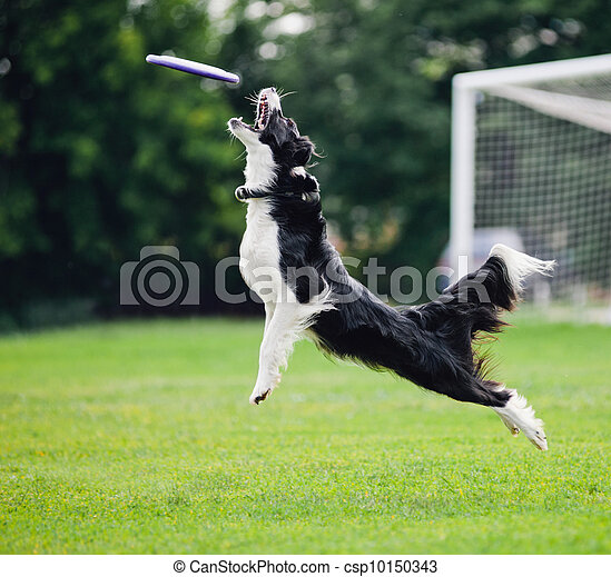 Frisbee dog catching - csp10150343