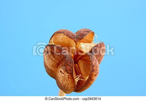 fritillaria seed head - csp3943614