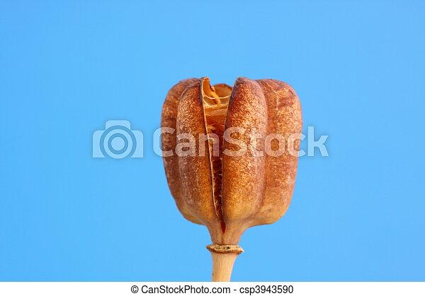 fritillaria seed head - csp3943590