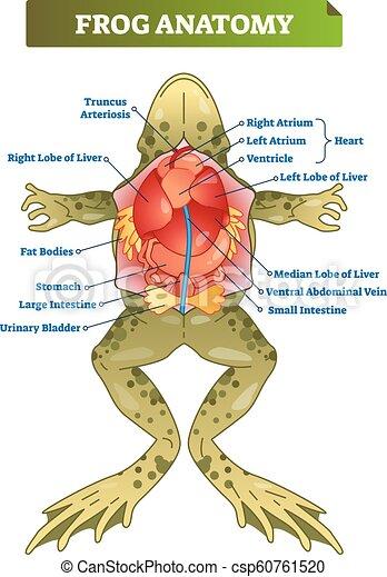 frog anatomy diagram labeled frog anatomy labeled vector illustration scheme educational  anatomy labeled vector illustration