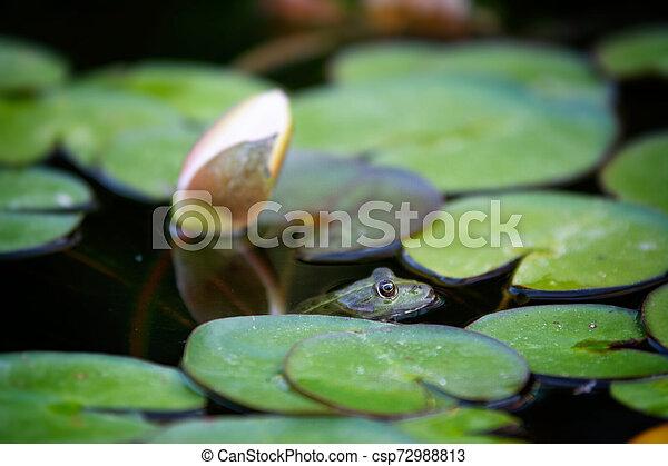 Frog hidden in lake plant - csp72988813