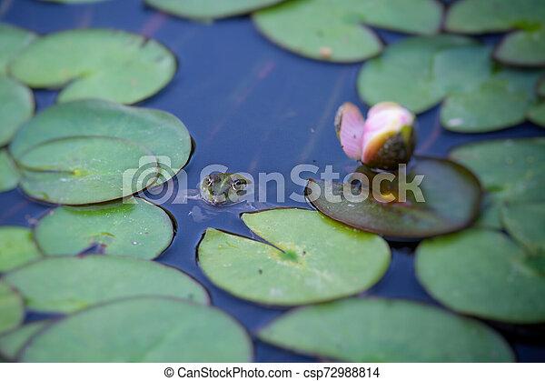 Frog hidden in lake plant - csp72988814