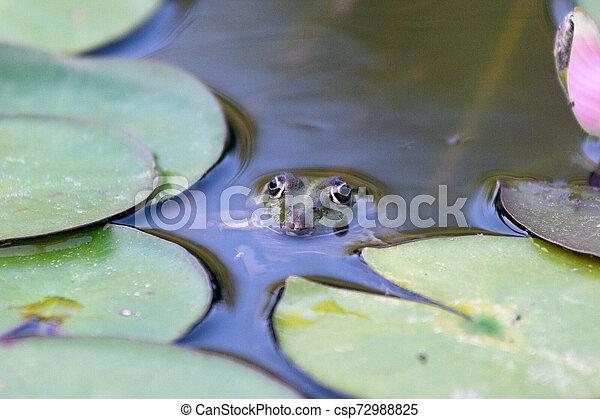 Frog hidden in lake plant - csp72988825