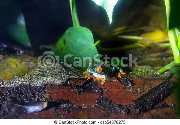 Frog in Costa Rica - csp54378275