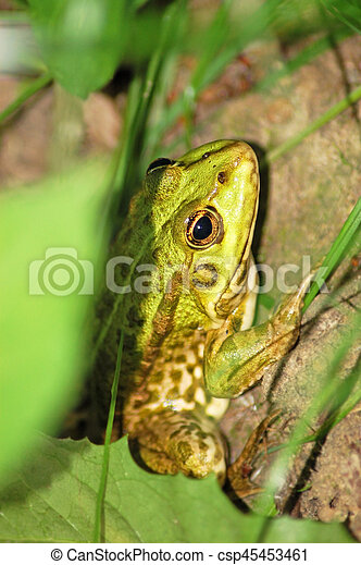 Frog in grass - csp45453461