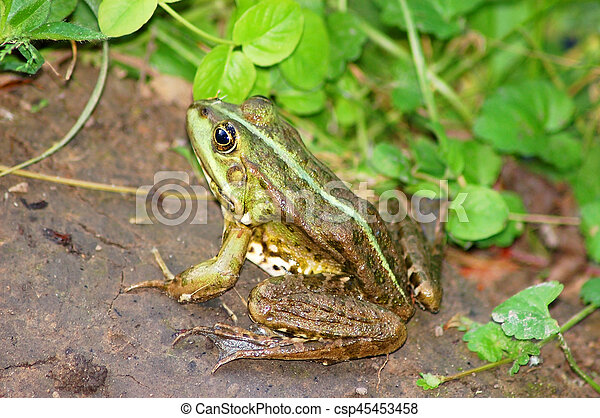 Frog in grass - csp45453458