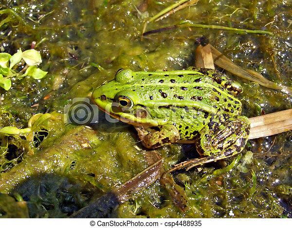 frog in marsh - csp4488935