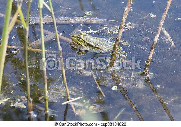 frog in pond - csp38134822