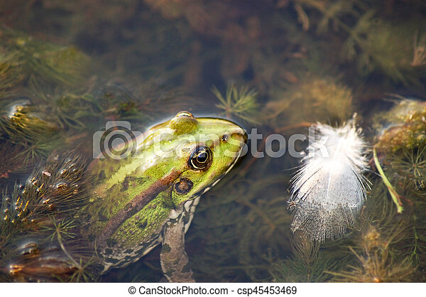 Frog in the pond - csp45453469