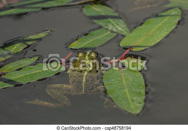 Frog in the water between leaves - csp48758194