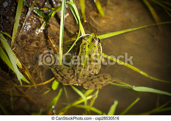 Frog in the water - csp28530516