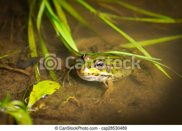 Frog in the water - csp28530489
