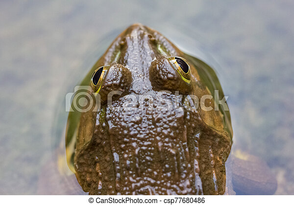 Frog in the water - csp77680486