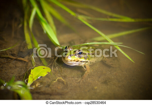 Frog in the water - csp28530464
