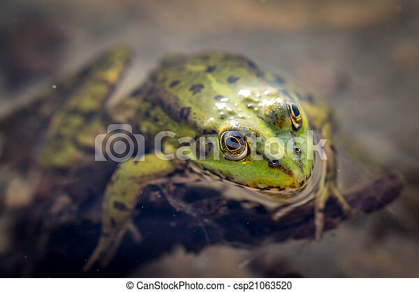 Frog in the water - csp21063520