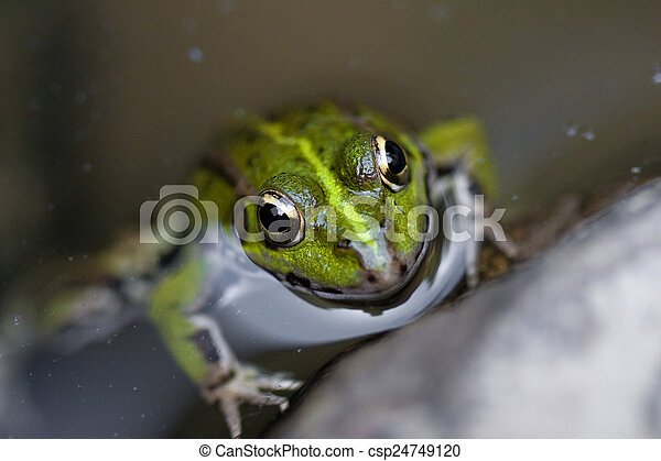 Frog in the water - csp24749120
