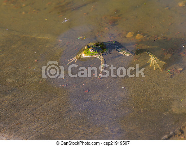 Frog in the water - csp21919507