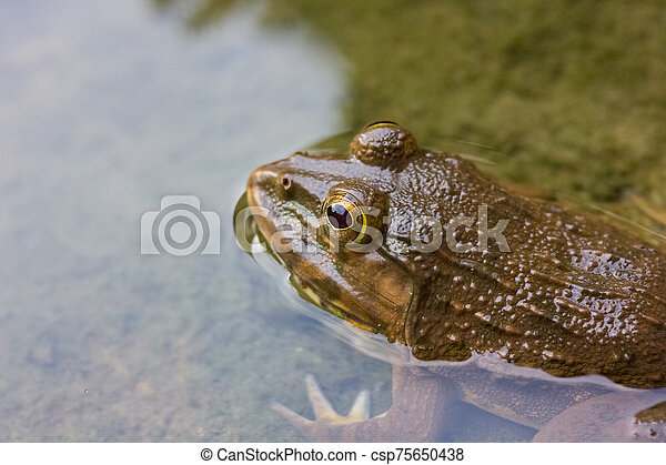 Frog in the water - csp75650438