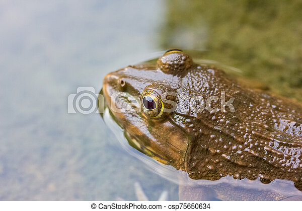 Frog in the water - csp75650634