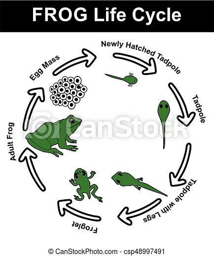 Frog Life Cycle Diagram - csp48997491