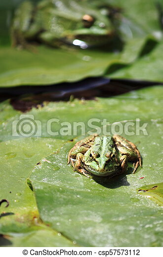 Frog on a lily pond - csp57573112