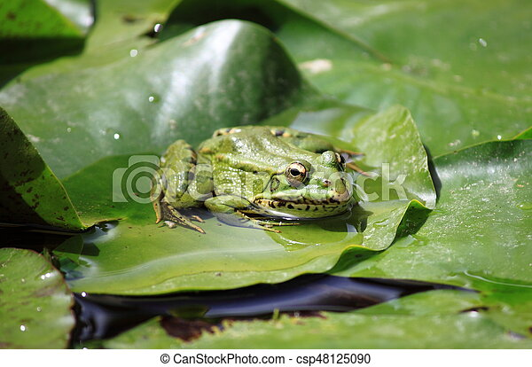 Frog on a lily pond - csp48125090