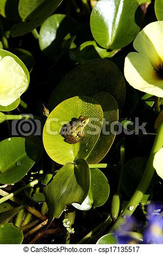 Frog - csp17135517
