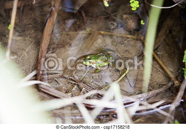 Frog - csp17158218