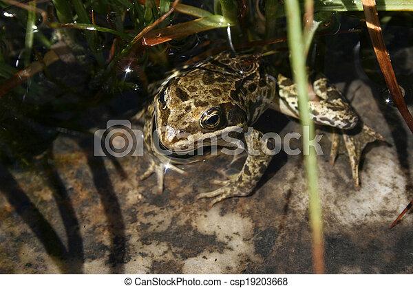frog - csp19203668