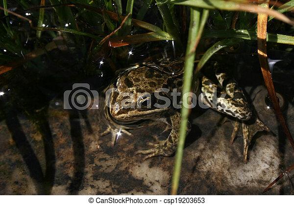 frog - csp19203653