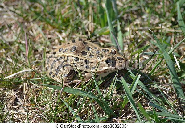 Frog - csp36320051