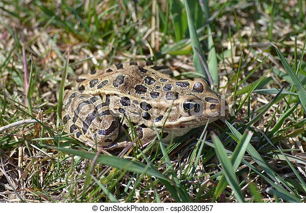 Frog - csp36320957