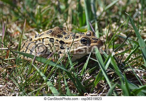 Frog - csp36319823