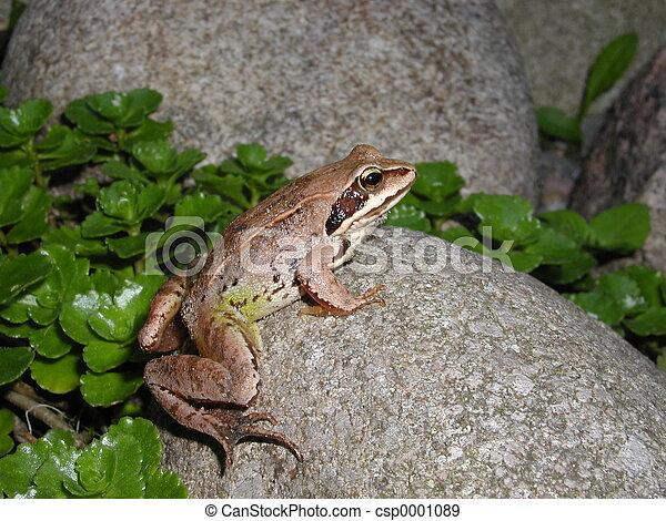 Frog - csp0001089