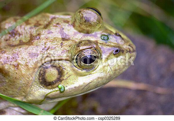 Frog - csp0325289