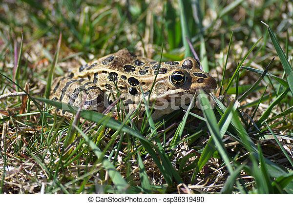Frog - csp36319490
