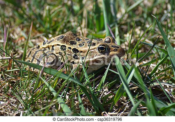 Frog - csp36319796