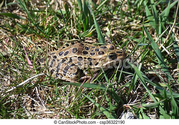 Frog - csp36322190