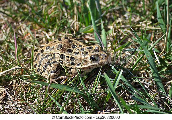 Frog - csp36320000