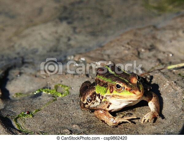 Frog - csp9862420