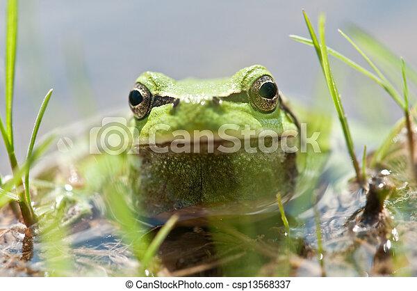 frog - csp13568337