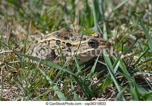 Frog - csp36319833