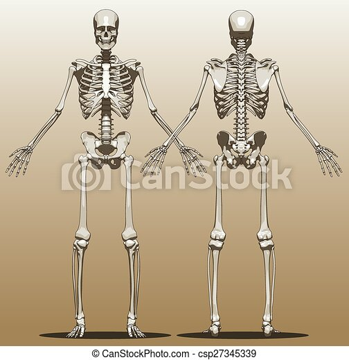 Front and back view of a human skeleton male vector illustration front and back view of a human skeleton csp27345339 ccuart Gallery