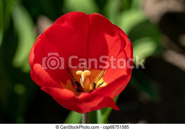 front, feld, steht, rote tulpe - csp68751585