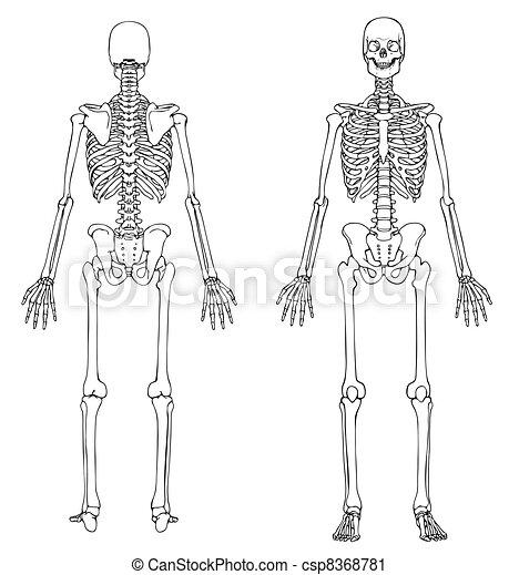 Front, skelett, zurück. Skeleton., medically, genau, zeichnung.