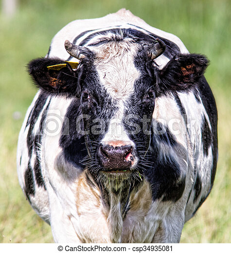 Front View of a cow - csp34935081