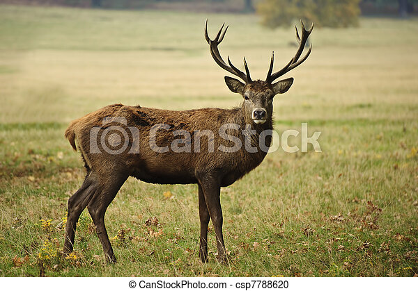 Frontal portrait of adult red deer stag in Autumn Fall - csp7788620