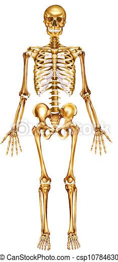 fronte, scheletro, vista - csp10784630