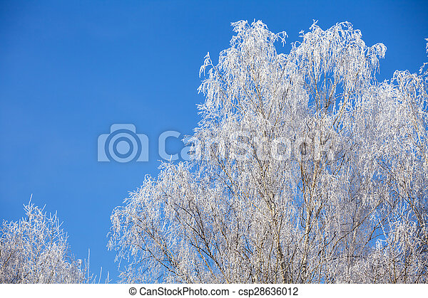 Frost on birch tree at winter - csp28636012