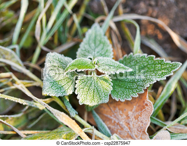 frost on green leaves of nettle in autumn - csp22875947